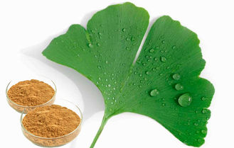 Food Supplement Ginkgo Biloba Leaf Extract With GCAP Planting Base