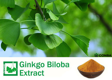 100% Natural Ginkgo Biloba 24 6 Extract For Helping Improve Memory