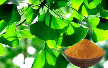 China CHP2015 Ginkgo Biloba Leaf Powder For Improving Mental Performance factory
